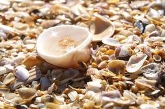 鸟蛤壳 库存照片