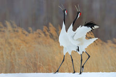 鸟行为在自然草栖所 跳舞对有在飞行中开放翼的红被加冠的起重机,与雪风暴,北海道, 免版税库存照片