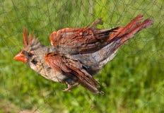 鸟被捉住的净额 库存照片