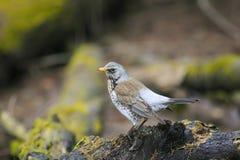 鸟被玷污的鹅口疮在春天Pa的一个绿色木树桩站立 免版税库存图片