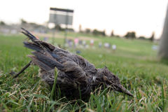 鸟西方的尼罗 免版税库存图片