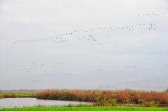 鸟迁移 免版税库存图片