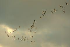 鸟迁移 库存照片