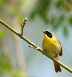 鸟逗人喜爱的被屏蔽的黄色 免版税库存照片