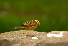 鸟锤子黄色 免版税库存照片