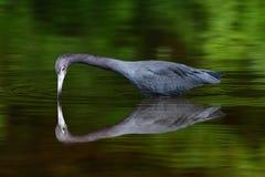 鸟镜象反射在美丽的绿河水中 从热带森林鸟的野生生物在与第一早晨太阳l的水中 免版税库存照片