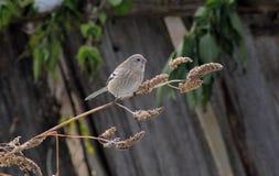 鸟长尾的红腹灰雀女性 免版税库存照片