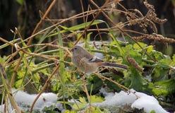 鸟长尾的红腹灰雀女性 图库摄影