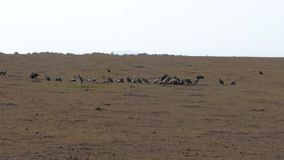 鸟雕吃在非洲大草原的一只动物尸体 影视素材
