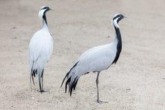 鸟非洲人起重机 免版税库存照片