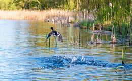鸟飞溅水 库存照片