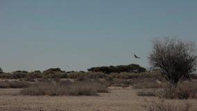 鸟飞行以沙漠大草原为背景 股票视频