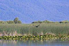 鸟飞行在俄勒冈沼泽地 免版税库存照片