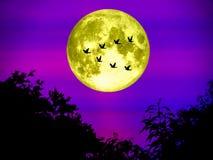 鸟飞行在轻的夜空的去家庭超级月亮 库存图片