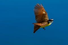 鸟飞行极大的kiskadee 库存照片