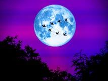 鸟飞行去家庭超级月亮在轻的夜 库存照片