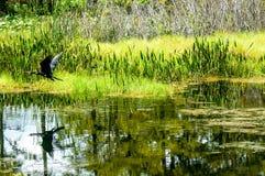 黑鸟飞行 库存照片