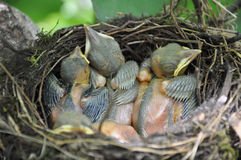鸟食一点刚孵出的雏等待 库存图片