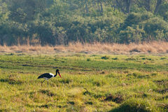 鸟马鞍发单了鹳, Okavango三角洲,博茨瓦纳非洲 库存照片