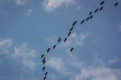 鸟鸟飞行剪影天空 库存图片