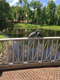 鸟鸠夫妇亲吻自然 免版税库存照片
