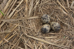 鸟鸡蛋 库存图片