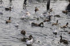 鸟鸭子和SEAGILS 免版税库存照片