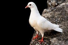鸟鸽子 免版税图库摄影