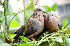 鸟鸽子 免版税库存图片