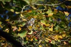 鸟鹅口疮在秋天树哺养 图库摄影