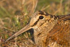 鸟鹬的接近的欧亚rusticola鸟鹬类 库存照片