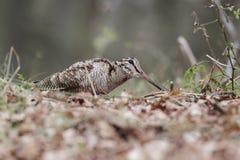 鸟鹬,鸟鹬类rusticola 免版税库存图片