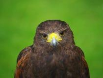 鸟鹰牺牲者 免版税库存图片