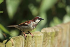 鸟麻雀 图库摄影