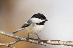 鸟黑色加盖的山雀 图库摄影