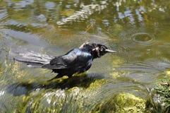 鸟黑色 免版税库存图片