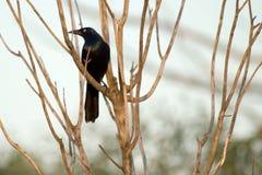 鸟黑色 图库摄影