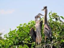 鸟,两个幼小伟大蓝色的苍鹭的巢在沼泽地 免版税库存照片