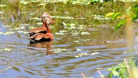鸟,两只吹哨的鸭子在水中在沼泽地 免版税库存照片