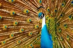 鸟,动物 与膨胀的羽毛的孔雀 泰国,亚洲 免版税库存照片