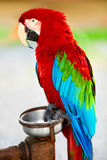 鸟,动物 红色猩红色金刚鹦鹉鹦鹉 旅行,旅游业 Thail 免版税库存照片