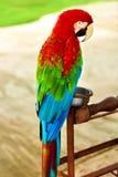 鸟,动物 红色猩红色金刚鹦鹉鹦鹉 旅行,旅游业 Thail 免版税库存图片