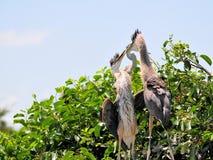 鸟,在巢的两个幼小伟大蓝色的苍鹭的巢 库存照片