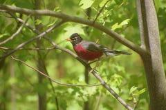 鸟,在树枝的罗宾鸟 库存照片