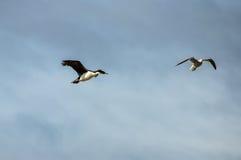 鸟,小猎犬海峡,乌斯怀亚,阿根廷 库存照片