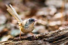 鸟,布朗Prinia -土井太阳朱赫,清迈,泰国鸟  免版税图库摄影