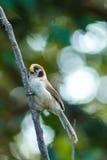 鸟,斑点Breasted Parrotbill -土井太阳朱赫,清迈,泰国鸟  库存照片