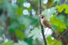 鸟,斑点Breasted Parrotbill -土井太阳朱赫,清迈,泰国鸟  免版税库存照片