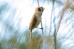 鸟,斑点Breasted Parrotbill -土井太阳朱赫,清迈,泰国鸟  库存图片