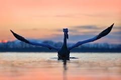 鸟,早晨日出 达尔马希亚鹈鹕, Pelecanus crispus,在湖Kerkini,希腊 与开放翼的Palican,寻找动物 通配 免版税库存照片